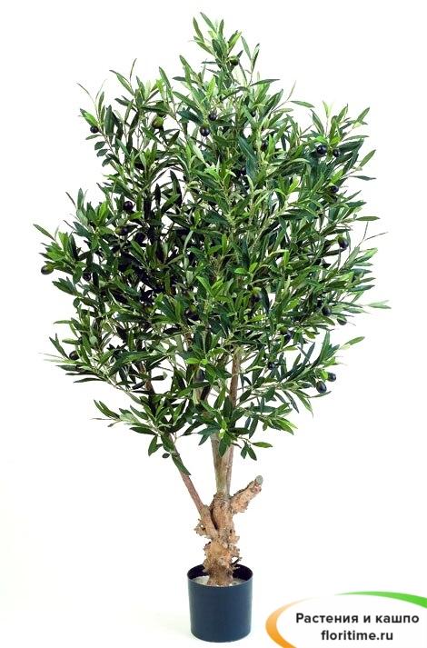 Олива Твист с плодами