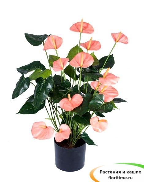 Антуриум Де Люкс розовый