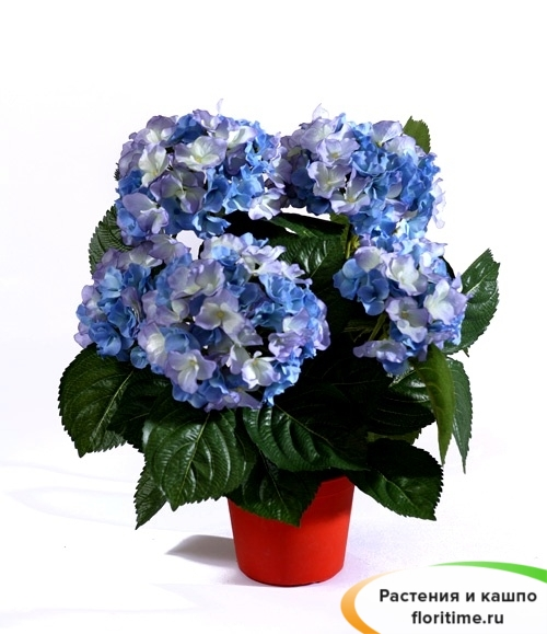 Гортензия Куст темно-голубой