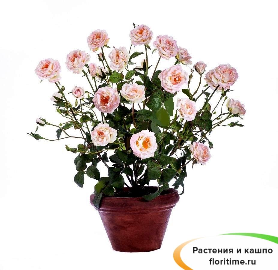 Роза розовая Куст в кашпо