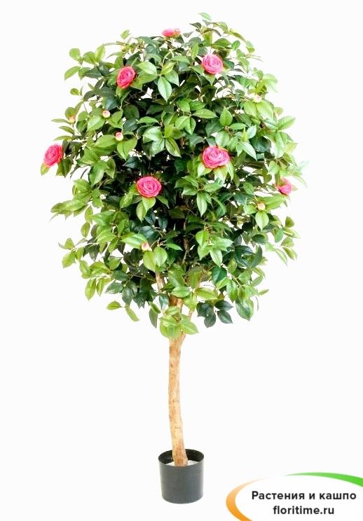 Камелия Вайн розовая