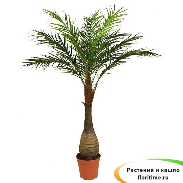 Бутылочная Пальма