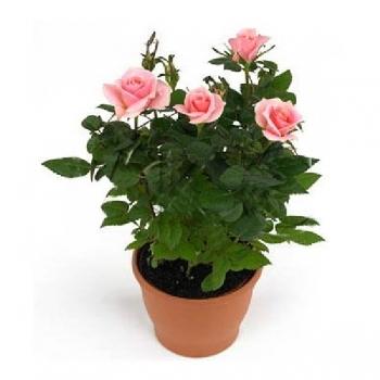 Роза Кордана розовая Марика