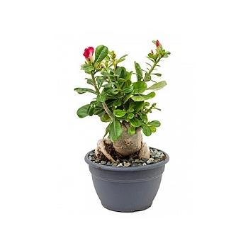 Адениум Обесум Диаметр горшка — 27 см Высота растения — 45 см
