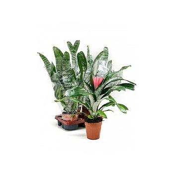 Эхмея fasc. primera xxl light pink Диаметр горшка — 15 см Высота растения — 65 см