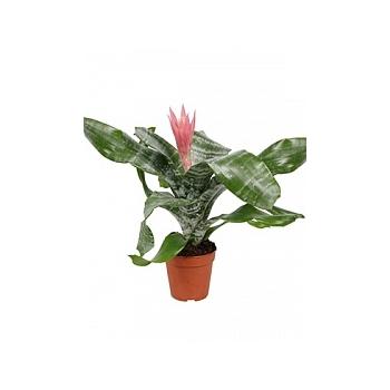 Эхмея picollo elegant pink Диаметр горшка — 12 см Высота растения — 45 см