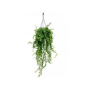 Эсхинантус japhrolepis hanger Диаметр горшка — 15 см Высота растения — 55 см