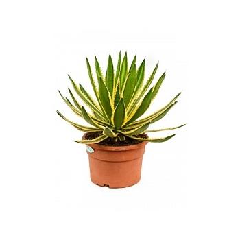 Агава lopantha Диаметр горшка — 27 см Высота растения — 40 см