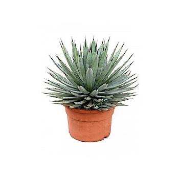 Агава macroacantha green/grey Диаметр горшка — 27 см Высота растения — 45 см