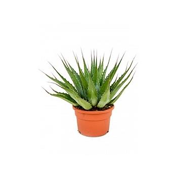 Агава montana green Диаметр горшка — 27 см Высота растения — 50 см