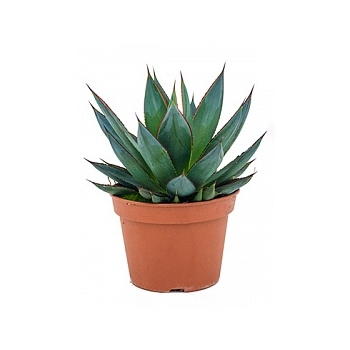 Агава shaka zulu green Диаметр горшка — 15 см Высота растения — 25 см