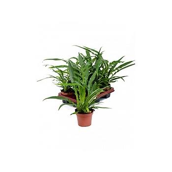 Аглаоморфа coronans bush Диаметр горшка — 12 см Высота растения — 30 см