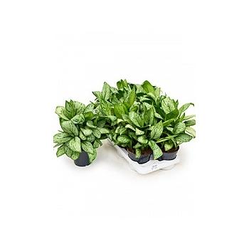 Аглаонема christina tuft Диаметр горшка — 17 см Высота растения — 45 см
