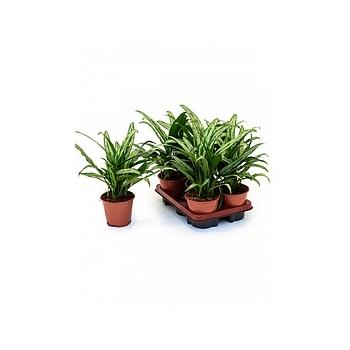 Аглаонема cutlass 5/tray tuft Диаметр горшка — 14 см Высота растения — 40 см