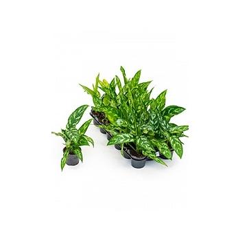 Аглаонема maria 18/tray Диаметр горшка — 9 см Высота растения — 20 см