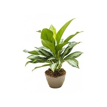 Аглаонема silver bay bush Диаметр горшка — 20 см Высота растения — 65 см