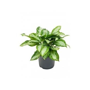 Аглаонема silver bay tuft Диаметр горшка — 21 см Высота растения — 40 см