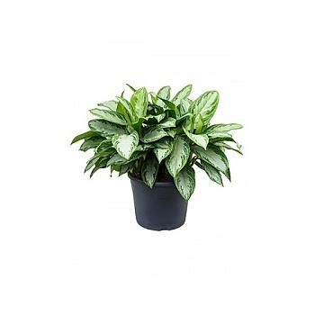 Аглаонема silver bay tuft Диаметр горшка — 35 см Высота растения — 70 см