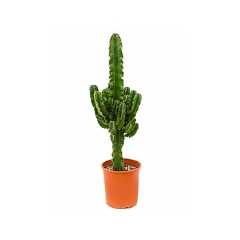 Эуфорбия erytrea branched Диаметр горшка — 19 см Высота растения — 75 см