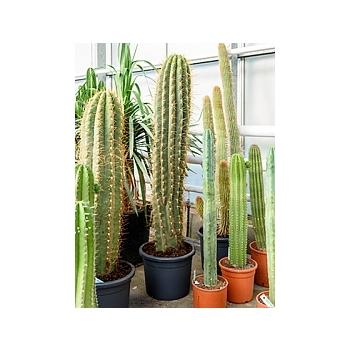 Эхинопсис (кактус) terschechii 1pp Диаметр горшка — 35 см Высота растения — 150 см