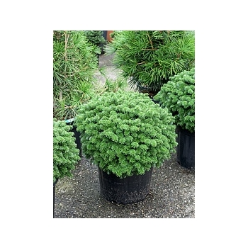 Пихта koreana brillant куст Диаметр горшка — 40 см Высота растения — 60 см