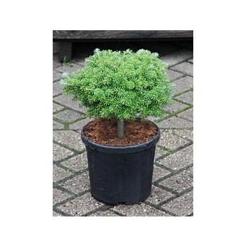 Пихта koreana kristallkugel busch Диаметр горшка — 22 см Высота растения — 40 см