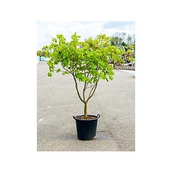 Клён japonicum aconitifolium стебель branched Диаметр горшка — 55 см Высота растения — 240 см