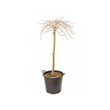 Клён palmatum crimson queen стебель Диаметр горшка — 50 см Высота растения — 150 см