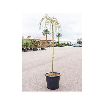 Клён palmatum dissectum flavescens стебель Диаметр горшка — 50 см Высота растения — 190 см