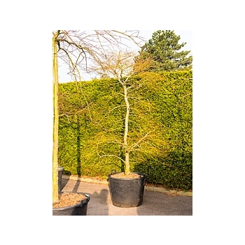 Клён palmatum dissectum rubrifolium стебель branched Диаметр горшка — 70 см Высота растения — 270 см