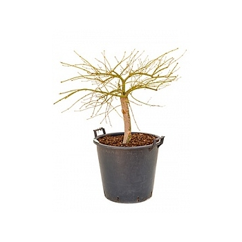 Клён palmatum dissectum стебель Диаметр горшка — 40 см Высота растения — 100 см