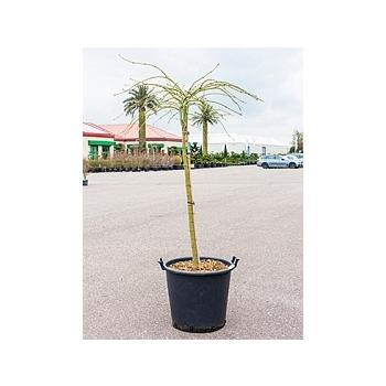 Клён palmatum dissectum стебель Диаметр горшка — 50 см Высота растения — 150 см