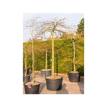 Клён palmatum inaba shidare стебель Диаметр горшка — 80 см Высота растения — 280 см