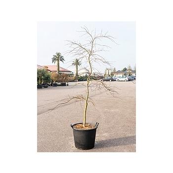Клён palmatum inaba shidare стебель Диаметр горшка — 60 см Высота растения — 250 см