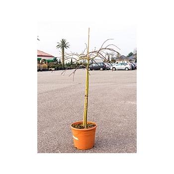 Клён palmatum tamukeyama стебель Диаметр горшка — 35 см Высота растения — 150 см