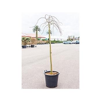 Клён palmatum tamukeyama стебель Диаметр горшка — 50 см Высота растения — 200 см