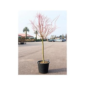 Клён palmatum winter flame стебель Диаметр горшка — 50 см Высота растения — 200 см
