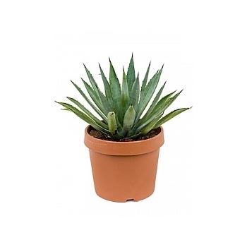 Агава macroacantha green/grey Диаметр горшка — 21 см Высота растения — 20 см