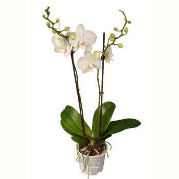 Фаленопсис белый 2 стебля