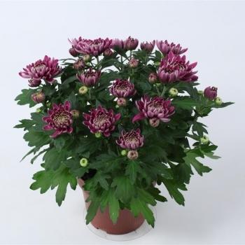 Хризантема пурпурная Кристал Мисти