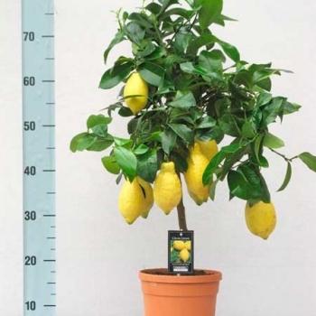 Цитрофортунелла Лимон штамбовая