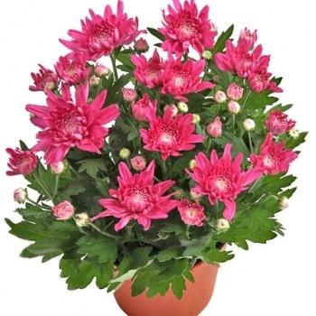 Хризантема розовая Мэйфилд