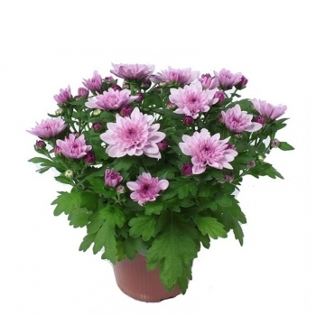 Хризантема Венту