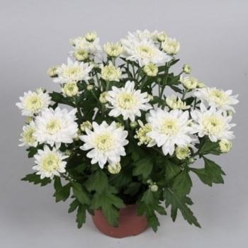 Хризантема белая Кристалл