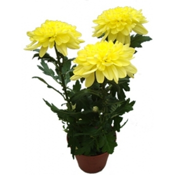 Хризантема Зембла желтая