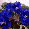 Фиалка Синяя бахромчатая