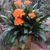Кливия Миниата