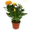 Роза Патио оранжевая Мандарина