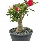 Адениум Обесум Диаметр горшка — 23 см Высота растения — 40 см