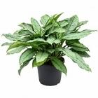 Аглаонема freedman tuft Диаметр горшка — 35 см Высота растения — 80 см